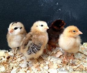 10 Reasons You Should Raise Backyard Chickens by FabulousFarmGirl. And 5 reasons you shouldn't.