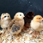 10 Reasons You Should Raise Backyard Chickens…And 5 Reasons You Shouldn't