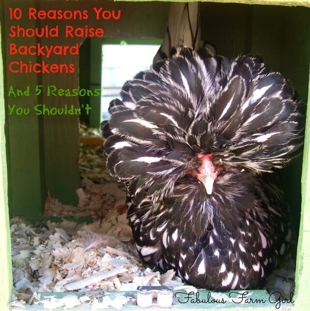 10 Reasons You Should Raise Backyard Chickens...And 5